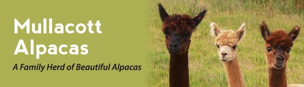 Mullacott Alpacas – North Devon